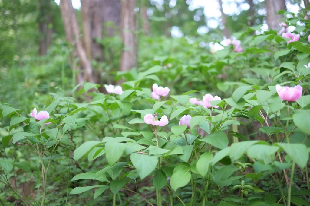 山野草のエキ 花