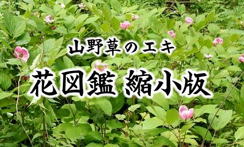 山野草のエキ 花図鑑 縮小版